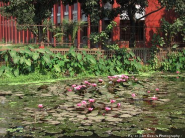 Red Water Lily Agargaon